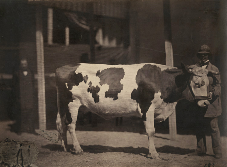 Adrien Tournachon-Nadar - Kuh von der Race in der Normandie (Cow with Man)